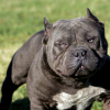 Kinds Of Pitbull Dogs