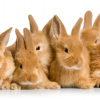 Kinds Of Rabbits