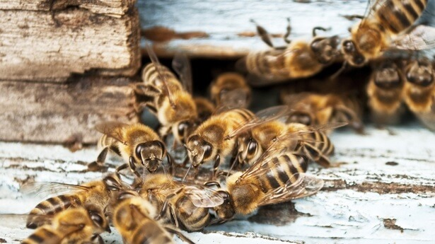 Kinds Of Bees
