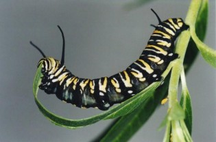 kinds of caterpillars 315x208