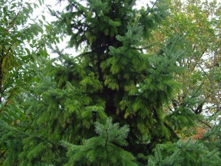 Kinds Of Evergreen Trees