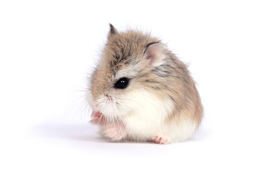 Kinds Of Hamsters
