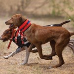 Kinds Of Hunting Dogs