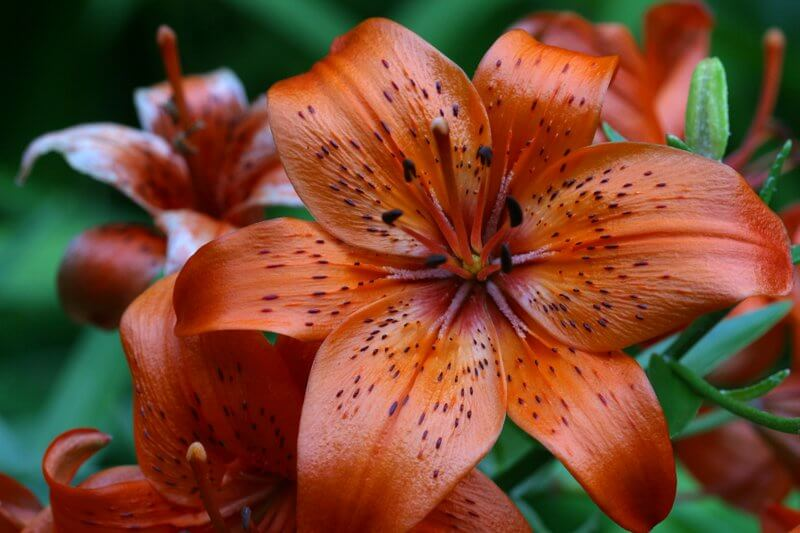 Kinds Of Lily Flowers