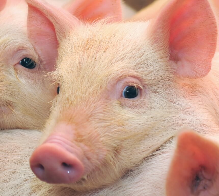 kinds of pigs