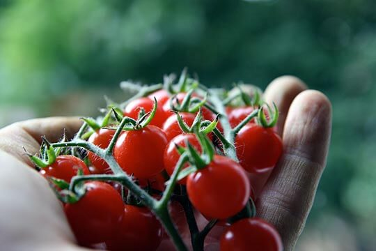 Kinds Of Tomato Plants