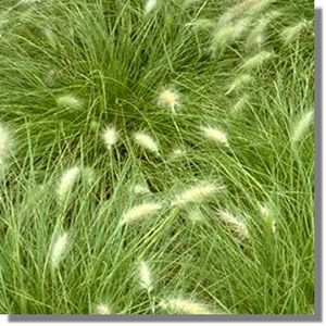 Kinds Of Grasses In Lawns