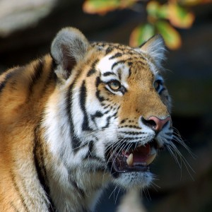 Kinds Of Tigers In India