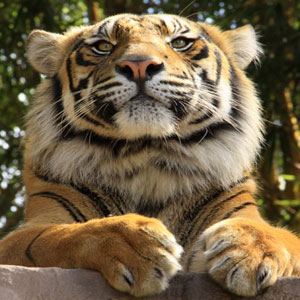 Kinds Of Tigers In The World